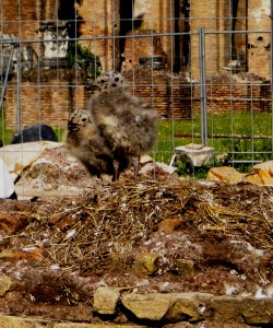 Seagull chicks in the Forum
